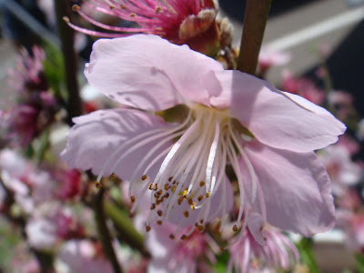 California Cherry Blossoms