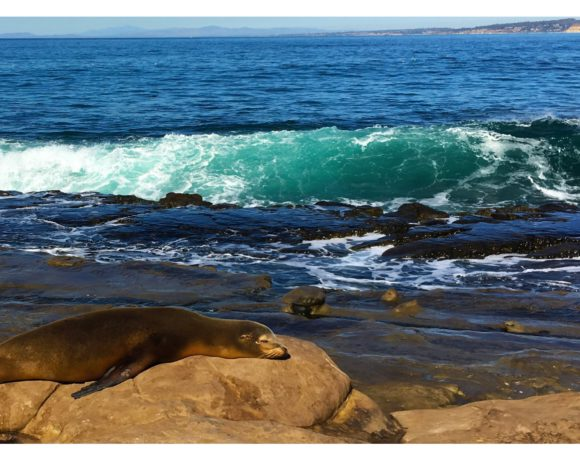 See the Sea Lions in La Jolla